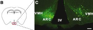 Diagrama esquématico coronario del ratón. C representa el lugar y sobrevivencia de neuronas embrionarias trasplantadas en el hipotálamo de un ratón incapaz de responder a la leptina.