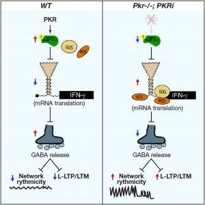 Al suprimir la molécula PKR en ratones mutantes (derecha) se mejora dramáticamente el aprendizaje y la memoria.