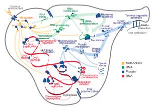 El modelo completo celular del M. genitalium integra 28 sub-modelos de diversos procesos celulares (crédito: J. R. Karr et al./Cell)