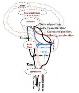 Proyección de circuitería biológica de bucles de control recurrentes en microcircuitos inspirados biológicamente. (Crédito: N. R. Luque, J. A. Garrido, R. R. Carrillo, S. Tolu, E. Ros/International Journal of Neural Systems)