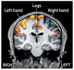 Estas áreas de la corteza motora son activadas cuando se piensa acerca de mover las partes del propio cuerpo. (Crédito: A. Hheddar/New Scientist)