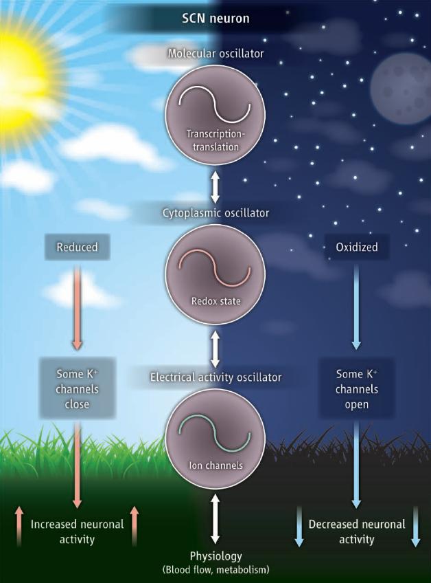 El reloj bucle de retroalimentación de transcripción-translación molecular (TIFL) y los osciladores circadianos no-TIFL en neuronas SCN de mamíferos. En este modelo, los osciladores ejercen influencia sobre cada uno de ellos durante el día y la noche.  La actividad neuronal retroalimenta el rejoj TIFL a través de mecanismo desconocidos (Crédito: Mino D. C. Belle and Hugh D. Piggins/Science)