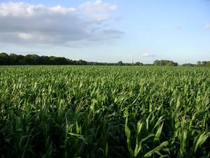 Sembradío de maíz (crédito: Jim Champion/Wikimedia Commons)