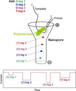 Diagrama esquemático de secuencia de ADN con nanoporos utilizando nucleótidos etiquetados con fosfato. Cada uno de los cuatro nucleótidos llevará una etiqueta distinta. Durante la secuenciación por síntesis (SBS), estas etiquetas serán liberadas en el nanoporo uno a la vez y producirán firmas de bloqueo de corriente única para la determinación de la secuencia.  (Crédito: Columbia University)
