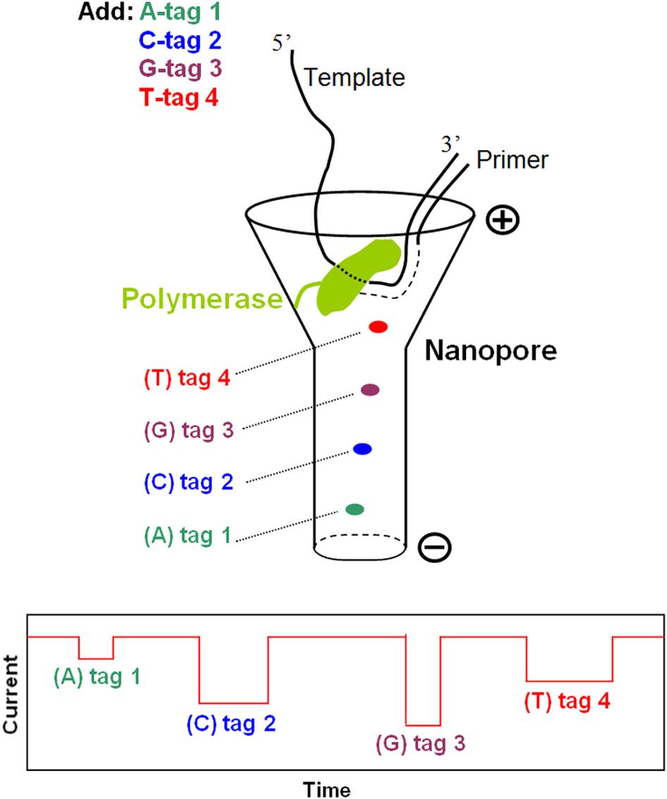 Secuencia electrónica de ADN en una sola molécula | Prueba y Error