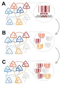 """Al convertir la conectividad en un problema de secuenciación puede ser dividido en tres componentes: (A) Etiquetar cada neurona con una secuencia única de nucleótidos -es decir, un código de barras ADN. (B) Asociar Códigos de barras de  neuronas sinápticamente conectadas entre sí, de manera que cada neurona puede pensarse como una """"bolsa de código de barras"""". (C) Unir los códigos de barras del anfitrión y del invasor en pares de código de barras. Estos pares son sujetos a secuenciación de alto rendimiento.  (Crédito: Anthony M. Zador et al./PLoS Biology)"""