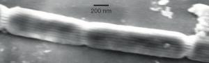 Imagen de cuatro células de bacteria filamentous_Desulfobulbaceae (Christian Pfeffer et al./Nature)
