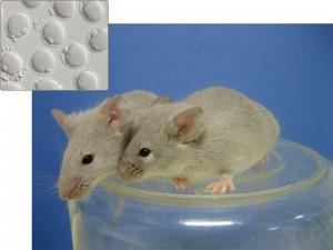 Estos ratones adultos crecieron a partir de oocytes, ovarios inmaduros, derivados in vitro de células madre pluripotentes inducidas (crédito: Mitinori Saitou and Katsuhiko Hayashi)