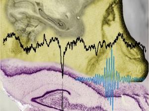 Oscilaciones en el hipocampo: interacciones neurales durante sueño no-REM y periodos de silencio (crédito: MPI for Biological Cybernetics)
