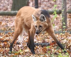 Copiar y salvar: el lobo de crin (crédito: Sage Ross/Wikimedia Commons)