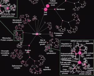 Parte de la ontología extraída de red (NeXO), ontología jerárquica de genes, componentes celulares y procesos derivados de grandes cantidades de información genómica. La ontología se muestra aquí como árbol, con nodos indicando términos y bordes indicando relaciones de jerarquía entre términos. El tamaño del nodo indica el número de genes asignados a un término. El color representa el grado de correspondencia a un término en la Ontología de Genes (GO) tal y como lo determina la alineación ontológica, con etiquetas en la alineación de alto nivel.  (Crédito: UC San Diego School of Medicine)