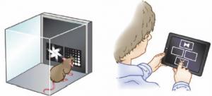 Al igual que los ratones, las personas con mutación en el gen DLG2 cometieron significativamente más errores en pruebas visuales de discriminación y flexibilidad de conocimiento que sujetos saludables. (crédito: J. Nithianantharajah et al/Nature Neuroscience)