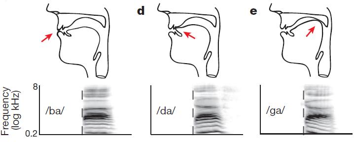 Arriba: dibujo del tracto vocal para tres consonantes (/b/, /d/, /g/), producidos por oclusión de los labios, punta de la lengua y cuerpo de la lengua respectivamente (flecha roja). Abajo: espectrograma correspondiente (frecuencia versus tiempo).  (Crédito: Kristofer E. Bouchard et al./Nature)