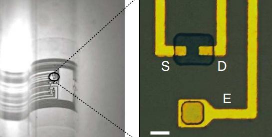Izquierda: Micrográfica óptica de ECoG conforma a una superficie curvilínea (escala 1mn);  derecha, micrográfica óptica de un canal de transistor y una superficie de electrodo, el el cual la capa de oro actúa como fuente (S),  drenado (D) y un electrodo (E) (escala 10mn)  (Crédito: Department of Bioelectronics, Ecole des Mines)