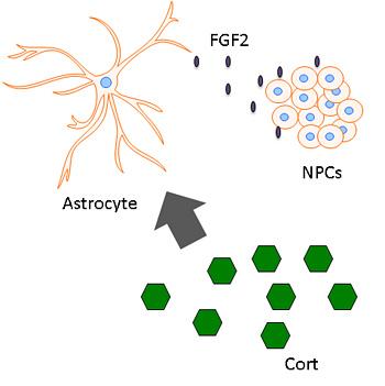 Corticosterona (hexágonos verdes), una hormona glucocorticoide relacionada con el estrés, estimula a los astrocitos para liberar la FGF2, que dispara a su vez la generación de nuevas neuronas a partir de células madre neurales. (crédito: University of California – Berkeley)