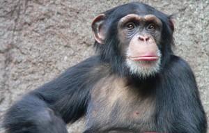 Chimpancé (crédito: Thomas Lersch/Wikimedia Commons)