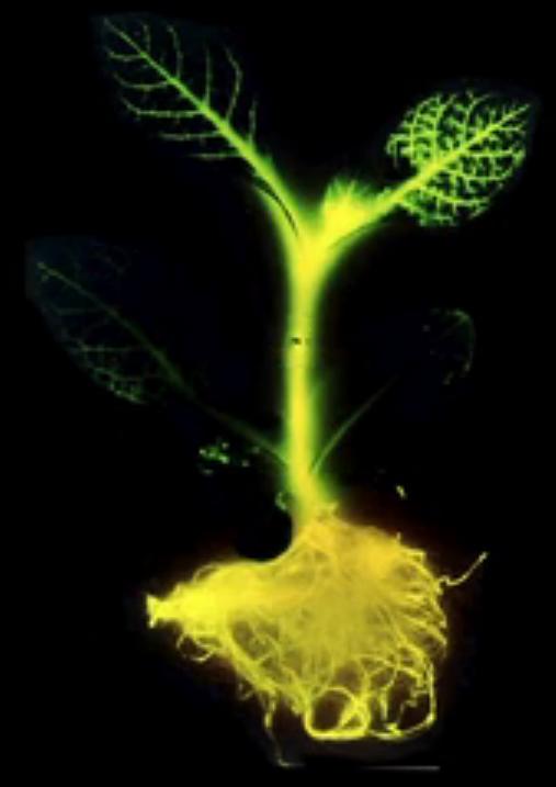 plantas-luminosas