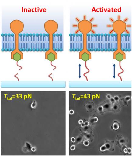 En este experimento, moléculas ligando son atadas con hebras de ADN a un substrato; las hebras tienen tolerancias a tensión definidas y se romperán si una tensión mayor a esa tolerancia se aplica. La unión integrin-ligando activa la adhesión celular sólo cuando la corre no se rompe, permitiendo la medición de la fuerza molecular. Los cultivos muestran adhesión celular y  se expanden a una tolerancia de tensión de 43 pico-Neutrons pero no a 33 pico-Neutrons. (Crédito: University of Illinois at Urbana-Champaign)