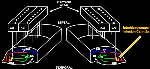 Arreglo de electrodos para vigilar y duplicar la actividad neuronal del hipocampo. (Crédito: T. Berger et al./Journal of Neural Engineering)