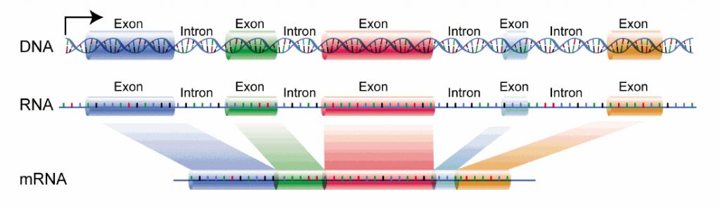 ADN-exones-intrones