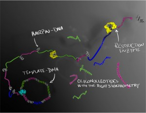 Oligonucleótidos  de ADN de cadena sencilla, en cantidades relativas pre-programadas, son producidas por amplificación utilizando una polimerasa de un patrón circular. Las regiones del ADN de cadena sencilla forman horquillas de ADN que pueden entonces ser cortadas por una enzima de restricción para liberar el oligo de ADN de cadena sencilla. (Crédito: Karolinska Institute)