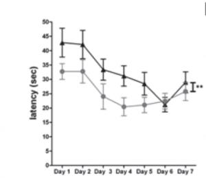 Sobre-expresión en el giro dentado del hipocampo del ratón resultó en un retraso significativo del aprendizaje espacial y memoria del ratón al medir el tiempo para llegar a la plataforma (línea superior) comparado con el grupo de control (línea inferior). (Crédito: Boaz Barak et al./NeuroMolecular Medicine)