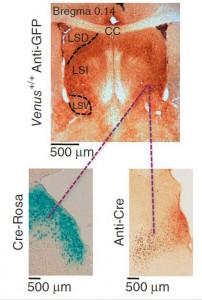 La Oxtr regula el incremento de miedo en situaciones sociales de estrés. (a) La inmunotinción GFP (anti-GFP) muestra la localización de neuronas Oxtr-positivas en el septum lateral de Venus+/+ 'reportero OXTR' (arriba; LSD, septum lateral dorsal; septum lateral intermedio; LSV, septum lateral ventral; cc, cuerpo calloso); inmunotinción Cre (anti-Cre) en ratones de campo inyectados con rAAV-Cre (abajo a la derecha), y tinción citoquímica X-gal de β-galactosidasa en B6.129S4- Gt(ROSA) reportero en ratones inyectados con rAAV-Cre (Cre-ROSA; abajo a la izquierda). (Crédito: Yomayra F Guzmán et al./Nature Neuroscience)