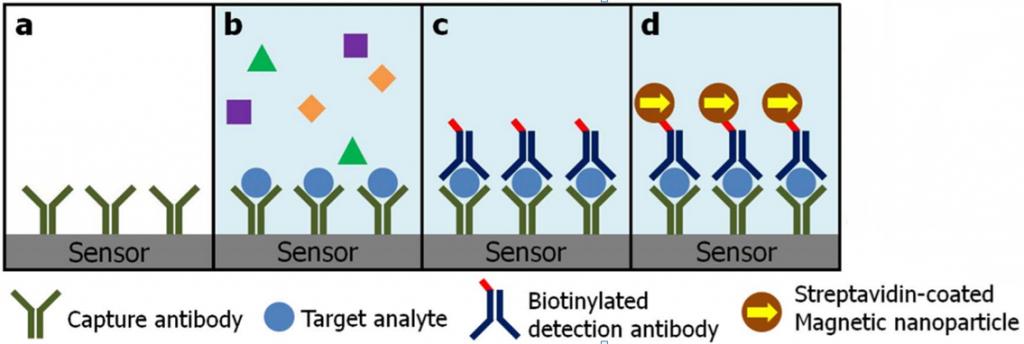 Un diagrama esquemático de inmunoensayo con biochip magneto nanosensor: (a) Anticuerpos capturados con covalentemente inmovilizados en la superficie del sensor. (b) Antígenos 'diana' son capturados y antígenos nocomplementarios son subsecuentemente eliminados. (c) La adición de anticuerpo de detección biotinilado forma una estructura de emparedado o sándwich. (d) Nanopartículas magnéticas recubiertas de streptavidin se unen a la detección de anticuerpos con biotina del campo magnético disperso. (crédito: Dokyoon Kim et al./Scientific Reports)
