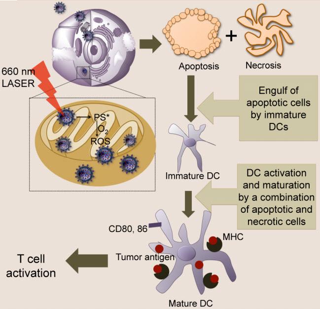 En el laboratorio, científicos de la Universidad de Georgia inyectaron nanopartículas (NPs) en el mitocondria de células con cáncer y activaron las NPs con luz láser para producir especies de oxígeno reactivo (ROS), causando la muerte celular vía apoptosis y necrosis.  Las células del cáncer muertas activaron las células dendríticas. Cuando son inyectadas en el cuerpo, las células dendríticas enviaron el aviso de alerta de atacar a las células cancerígenas. (Crédito: Sean Marrache et al./ACS Nano)