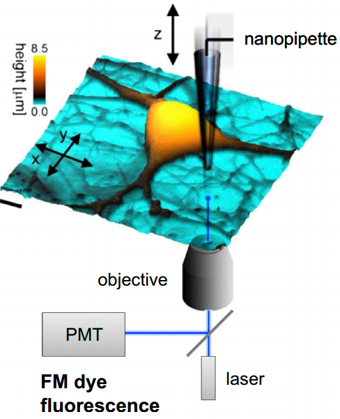Diagrama esquemático de configuración experimental imagen topográfica 3D con super resolución en vivo del cultivo neuronal del hipocampo. (crédito: Pavel Novak et al./Neuron)