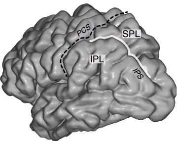 Región surco intraparietal del cerebro (línea blanca). (crédito: Mohammad Dastjerdi et al./Nature Communications)