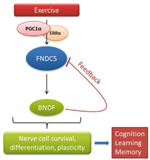 El ejercicio estimula el aumento de la expresión del gen BDNF. El BDNF es el regulador de la sobrevivencia nerviosa celular, la diferenciación y plasticidad del cerebro. Esto conducirá a una mejor función cognitiva, mejor memoria y mejor aprendizaje. (Crédito: Christiane D. Wrann et al., Cell Metabolism)