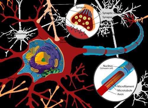 Diagrama neuronal típico. Ramas rojas: dendritas; segmentos azules: axones.  (Crédito: Wikimedia Commons)