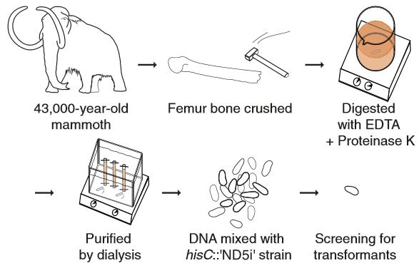 Diagrama de experimento antiguo de ADN. ADN de mamut lanudo se utilizó como donador para la transformación natural de la hebra hisC::′ND5i′  (crédito: Søren Overballe-Petersen et al./PNAS)