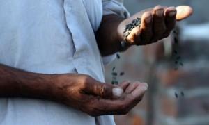 """""""El crecimiento económico inicia cuando las semillas son genéticamente modificadas y patentadas, obligando así a los agricultores a comprar semillas cada temporada"""" (Crédito: Raminder Pal Singh/EPA)"""