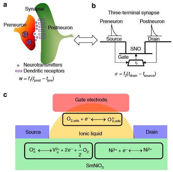 Transistor sináptico niquelado de tres terminales. (a) En una sinapsis neural, el peso de la sinapsis (w), conformada por la cantidad de neurotransmisores y receptores dendríticos, es una función de la diferencia temporal entre picos preneuronales y postneuronales. (b) Diagrama esquemático transistor SmNiO3 (SNO) de tres terminales con compuerta de líquido iónico con su canal de conductividad ajustado por la diferencia del tiempo entre el pico fuente y el de drenado. La función f 3 se aplica para simular la diferencia temporal entre la fuente y el drenado, que se manifiesta por la compuerta bias. (c) Mecanismo propuesto de modulación de resistencia, en el cual la oxidación y la reducción de especies Ni de controla a través de la creación y aniquilación de vacantes de oxígeno en el canal SNO por medio de un campo eléctrico externo, se diseña para habilitar el cambio de conductividad. (Crédito: Jian Shi et al./Nature Communications)