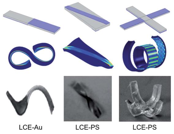 Cambio de forma. (Arriba)Esquemático que muestra elástomero cristal líquido (LCE) inicial con una capa de poliestireno (PS) o de oro (Au) en una parte del LCE. Regiones sombreadas (Violeta) indican la parte donde se aplicó PS ó Au. (En Medio) Predicciones simuladas de la forma resultante a partir del patrón de las dos capas. (Abajo) Muestras experimentalmentes que muestran la forma real obtenida. (Credit: Aditya Agrawal et al./Soft Matter)