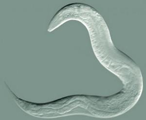 Nematodo C. elegans (crédito: The Goldstein Lab)