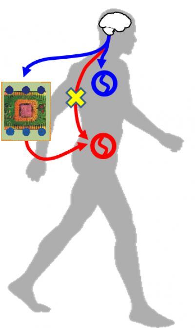 La ilustración muestra la manera en que una computadora conecta el cerebro directamente hacia el centro de locomoción en al médula espinal a través de un dispositivo magnético.  (Crédito: Yukio Nishimura)