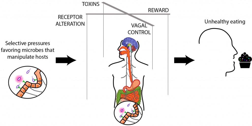 Estrecha relación entre bacteria intestinal y dieta no saludable  (Crédito: UC San Francisco)