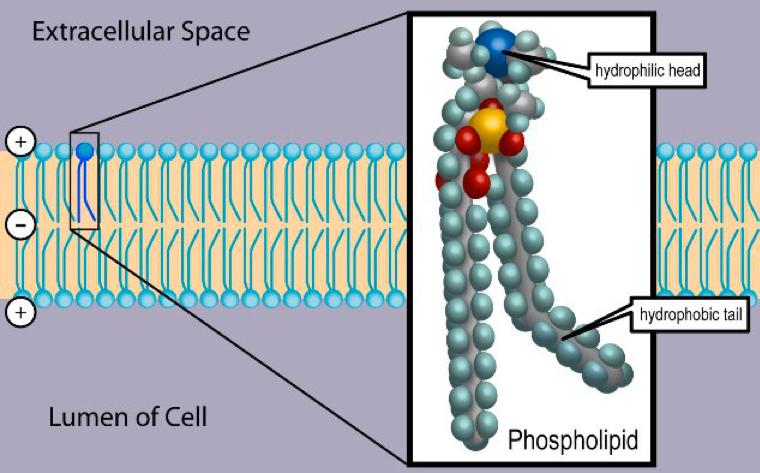 Estructura de un fosfolípido, componente principal de todas las membranas celulares. (Crédito: Wikimedia Commons)