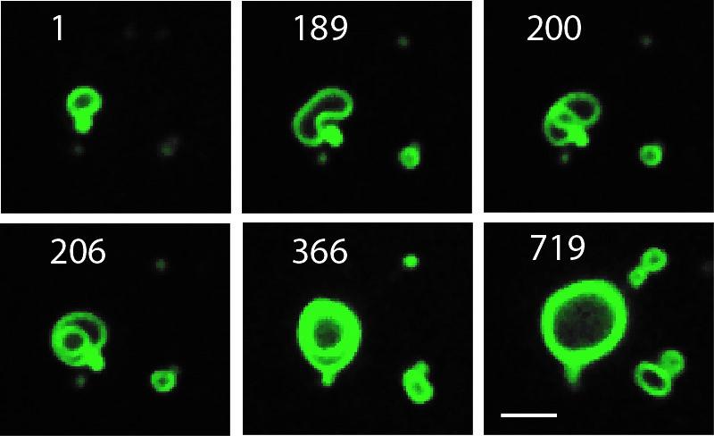 Membranas celulares en crecimiento se ven en esta primera secuencia (los números corresponden a minutos de duración). (Crédito: Michael Hardy, UC San Diego)