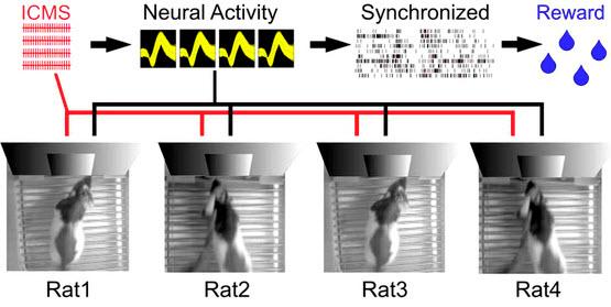 Esquema experimental del dispositivo de computación Brainet. Se muestra un Brainet de cuatro cerebros interconectados. Las flechas representan el flujo de la información a través de Brainet. Las entradas (en rojo) se suministraban en forma de patrones de microestimulación intracortical simultanea (ICMS) a través de electrodos implantados, a la corteza somatosensorial de cada rata. La actividad neural (en negro) fue luego grabada y analizada en tiempo real. Se les requirió a las ratas sincronizar su actividad neural con cada uno de los participantes para recibir agua como recompensa. (Crédito: Miguel Pais-Vieira et al./Scientific Reports)