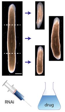 Regeneración planaria cabeza-tronco-cola a partir de experimentos.  (Crédito: Daniel Lobo and Michael Levin/PLOS Computational Biology)