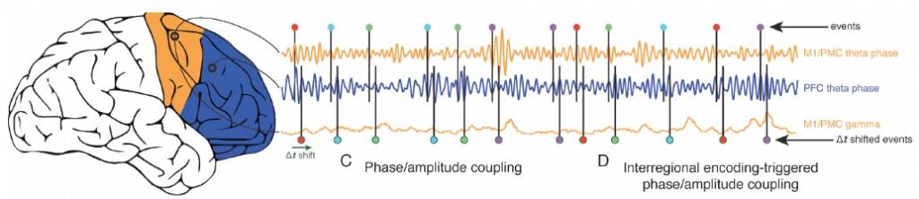 Ilustración que muestra cómo las regiones anterior (azul) y posterior (naranja) de la corteza cerebral se sincronizan para comunicar tareas cognoscitivas entre sí.  (crédito: Bradley Voytek)