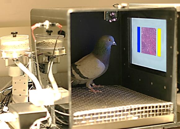 El ambiente de capacitación de las palomas incluye un dispensador de alimento, una pantalla sensible al tacto que proyecta la imagen médica, así como botones azules y amarillos para elegir el lado de la imagen. Los picotazos en esos botones o en cada lado de la imagen fueron grabados automáticamente. (credit: Levenson RM et al./PloS)