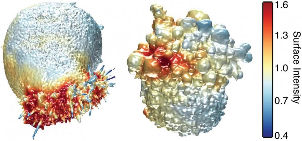 Esta imagen muestra las superficies extraídas de dos células de cáncer. (Izquierda) Una célula de cáncer coloreada con actina cerca de la superficie de la célula. La actina es una molécula estructural que se integra al movimiento de la célula. (Derecha)Una célula de melanoma coloreada con la actividad PI3- quinasa cerca de la superficie de la célula. La PI3- quinasa es una molécula de señalización que es clave en muchos procesos de la célula. (Crédito: Welf and Driscoll et al./Developmental Cell)