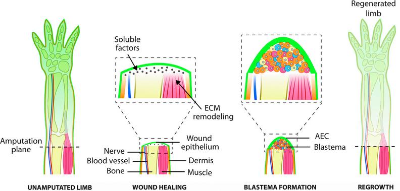 El proceso de regeneración epimórfica anfibia ofrece algunas pistas para este proceso en seres humanos. Después de una amputación, la herida sana formando una capa epidemial, los tejidos interiores pasan por un remodelado de matriz, y las células secretan factores solubles. Una masa heterogénea de células, o blastema, se forma a partir de la proliferación y migración de células desde tejido adyacente. El blastema entonces hace crecer nuevos tipos de tejido con una distribución espacial que reconstruye la estructura original de la extremidad. (crédito: Lina M. Quijano et al./Tissue Engineering Part B)