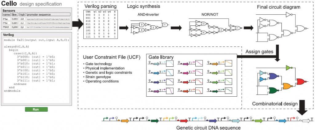 Visión de conjunto de Cello. Los usuarios de Cello escriben código Verilog y seleccionan o cargan sensores y un UCF. Sobre la base del diseño Verilog, se construye una tabla de verdad, a partir de la cual se sintetiza un diagrama de circuito. Se asignan reguladores desde una biblioteca para cada compuerta (cada color representa un represor distinto). Se utiliza diseño combinacional para concatenar las partes en una secuencia lineal de ADN. (crédito: Alec A. K. Nielsen et al./Science)