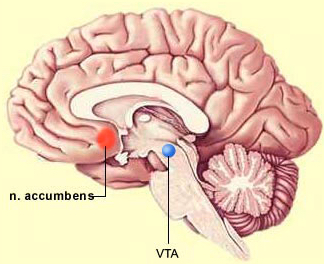 Área tegmental ventral del cerebro (VTA), un centro de placer que genera dopamina (crédito: Bruno Dubuc)